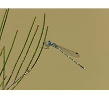 Damselfly, Ischnura heterosticta, overhanging a temporary soak. Photographic Print