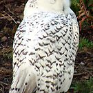 Sleepy Snowy Owl by tkrosevear