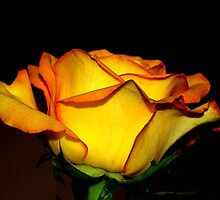 yellow orange rose by Nirsha