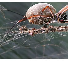 web weaver Photographic Print