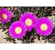 Carpobrotus glaucescens and friends Photographic Print