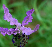Open Lavender Arms by Bev Woodman