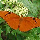 Julia Longwing Butterfly by Robert Abraham