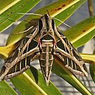 Vine Sphinx Moth by Robert Abraham