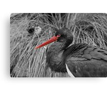 black stork with some red Canvas Print