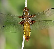 Broad Bodied Chaser by Robert Abraham