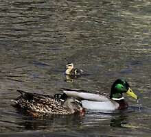 Duck Family by AlixCollins