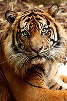 Sumatran Tiger by margotk