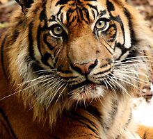 Sumatran Tiger by margotk