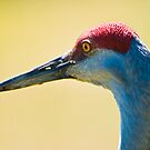 Sandhill Crane Portrait by David Friederich