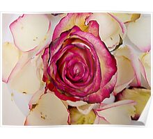 Pink White roses Poster