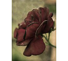 Yesterday's Rose Photographic Print