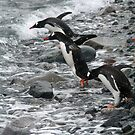 Gentoo penguin, diving into Southern Ocean by cascoly