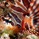 Zebra Lionfish by MattTworkowski