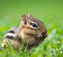 Cute Chipmunk by Christina Rollo