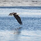 American Bald Eagle 2015-16 by Thomas Young