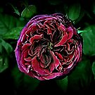 Scent of a Rose by Basia McAuley