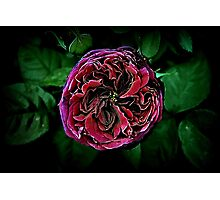Scent of a Rose Photographic Print