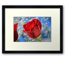 Blooming Red Rose Framed Print