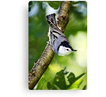 Charming Nuthatch Canvas Print