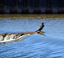 Cormorant at  the Weir at Exeter Devon.UK by lynn carter