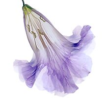 Lavender Crinoline Photographic Print