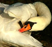 SwanSong by Colin J Williams Photography