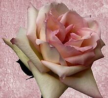 Pink Delight by Judy Vincent