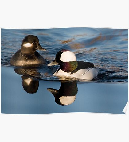 Bufflehead Pair Poster