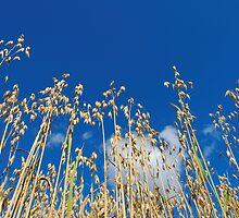 Oats on Blue Sky  by Stanislav Sokolov