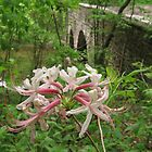 Pinxterbloom Azalea with Bridge at Bowman's Hill by Anna Lisa Yoder