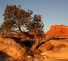 Canyonlands pine by BILL JOSEPH