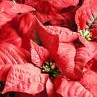 POINSETTIA by dmsquare