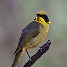 Helmeted Honeyeater by margotk