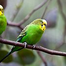 Budgerigar by margotk