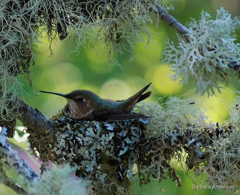 NESTING HUMMINGBIRD by Barbara Anderson