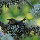 NESTING HUMMINGBIRD by Barbara Anderson