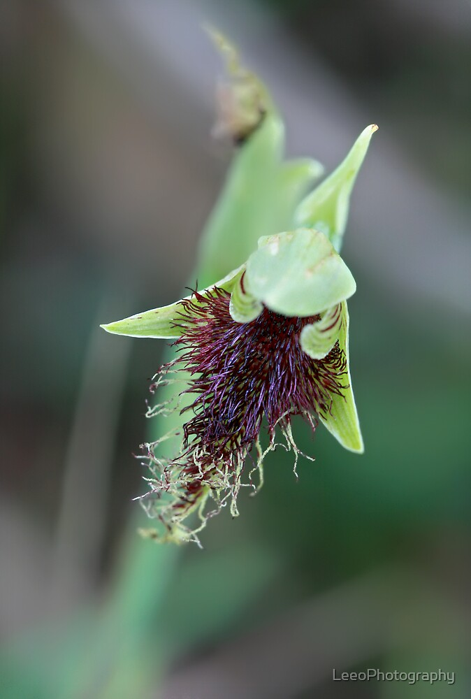 Common Beard-Orchid by LeeoPhotography