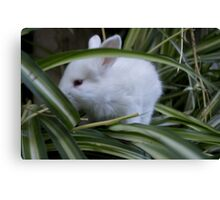 21715 bunny Canvas Print