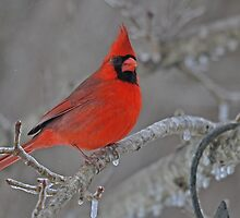 Cardinal by Michele Conner