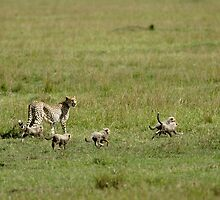 Cheetah and cubs by Yves Roumazeilles