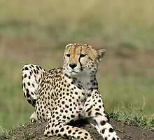 Cheetah by Yves Roumazeilles