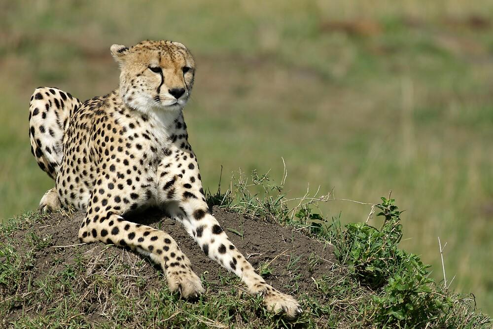 Cheetah by Yves Roumazeilles