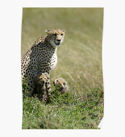 Cheetah mother and two cubs Poster