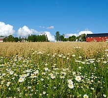 Oat Farm and Daisies  by Stanislav Sokolov