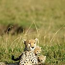 Big cats of Africa by Yves Roumazeilles