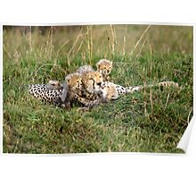 One happy cheetah family: Sita and cubs Poster