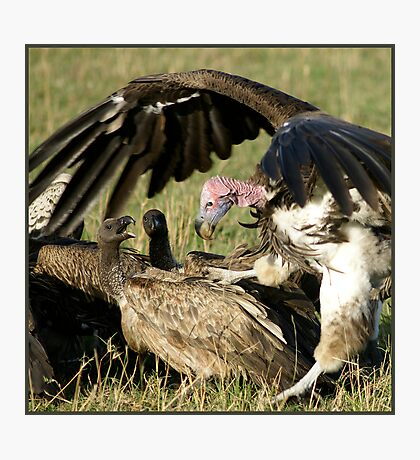 Vulture fight Photographic Print