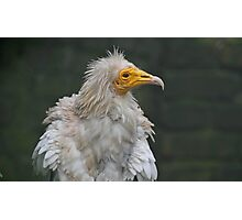 Egyptian Vulture Photographic Print