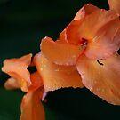 Orange Creme by Rhonda  Thomassen